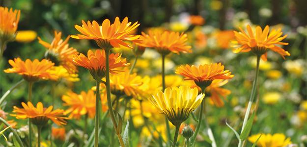 Die Calendula oder Ringelblume ist die wichtigste Anbaupflanze in Schwäbisch Gmünd.