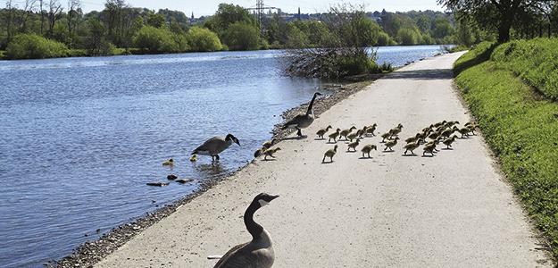 Eine Entenfamilie am Ufer der Ruhr